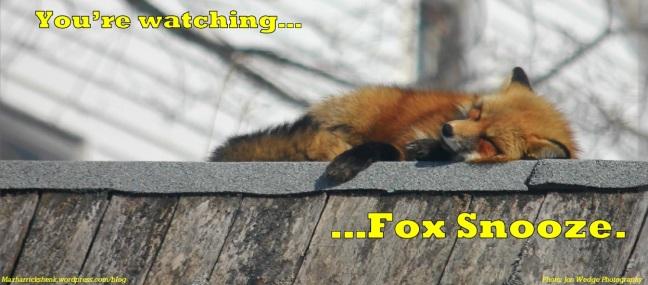 fox-snooze